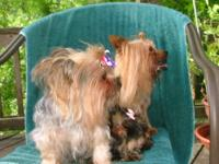 AKC Yorkie Female (Lady) available for adoption with