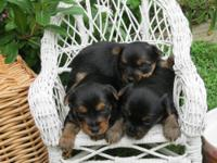 parti yorkie puppies for sale in Pensacola, Florida Classifieds