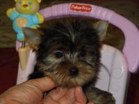I have a beautiful female Yorkie puppy. She is AKC