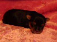AKC Yorkshire Terrier puppy. This little female was