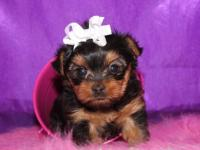 I have two AKC Yorkshire Terrier Female Puppies