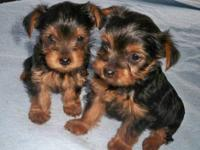 Adorable AKC Yorkshire Terrier GIRL Puppies. $500.00
