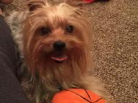 For adoption is an energetic AKC Yorkshire (yorkie)
