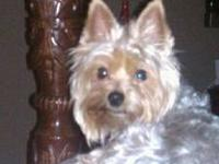 Pair of Yorkshire Terriers. Male & Female both 4 years