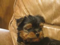 Energetic yet laid-back black and tan little guy that