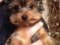 AKC Yorkie pups. Born 10-1-2013. one guy left, all