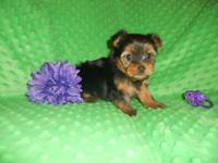 AKC Registered, Small Guy Yorkshire Terrier Available