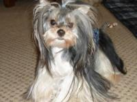 Little Obie is a beautiful Parti Yorkie, AKC, Male, 15