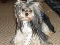Little Obie is a beautiful Parti Yorkie, AKC, Male, 15