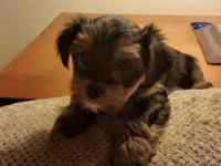 We have 2 little Females AKC Yorkies for sale they are