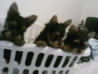 I have 2 male and 1 female Yorkie Puppies for sale. All