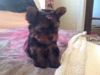 Beautiful Yorkshire terrier puppies that will steal