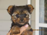 Akc Register Yorkshire Terrier puppies for sale. 7 male