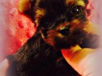 . Emerald Yorkies has adorable AKC Yorkshire Terrier