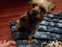 AKC Yorkshire Terrier young puppies will certainly be