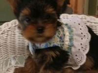I have a beautiful litter of 4 AKC yorkies for sale.