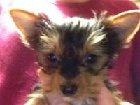 House raised Yorkie dogs. Ready for their forever home.