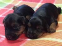 I have 2 female Yorkshire Terrier puppies for sale.