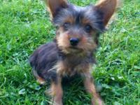 Two AKC Yorkie puppies. One male, one female. Born July