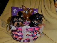 AKC-REG pure bred Yorkshire terrier puppies I have two