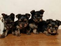 AKC Yorkshire Terrier / Yorkie puppies $700 male or