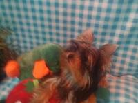 Champion Sired AKC yorkshire terrier puppies 20 Weeks