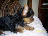 AKC, Beautiful yorkie puppies born into a loving home.