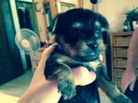 I have 3 male AKC yorkie puppies for sale- They were