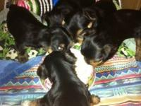 AKC YORKSHIRE TERRIER PUPPIES FOR SALE - DOB 13 April