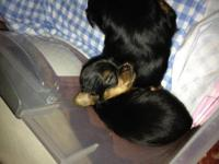I have 4 adorable Yorkshire Terrier Puppies for sale.