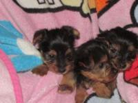 We have three male yorkies they are 6 weeks old and