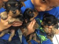 AKC REG.YORKSHIRE TERRIER PUPPIES FOR SALE $700.00 FOR