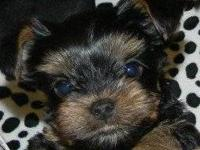 Now taking deposits for Yorkshire Terrier Puppies!