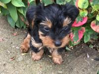 ONLY 2 LEFT! AKC Yorkshire terrier puppies for sale.