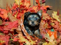 1 male yorkie left! Born Oct 16, 2012. He will be ready