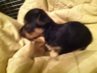 AKC YORKSHIRE TERRIER puppies available- **1 male left