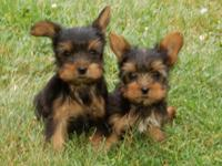 Five adorable Yorkie puppies. Will be 8 weeks old