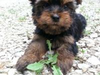 It is time for my AKC Yorkie babies to find new homes.