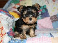 I have two Yorkshire terrier puppies for sale. I have