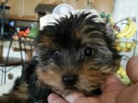 I have a sweet and playful Yorkie girl! She and her