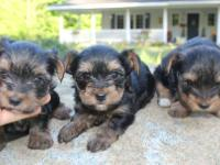 3 male beautiful AKC Yorkie puppies - parti carriers!
