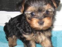 One male Yorkie just 5 weeks old. Will be ready to move