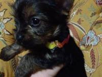 Eight week old male Yorkie -- Yorkshire terrier puppy.