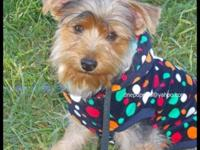 Yorkshire Terrier are non shedding and Jax's is a