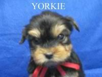 Yorkshire Terrier puppy, accepting deposit now. Toy