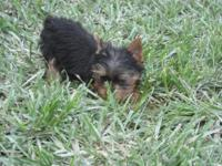 Akc yorkie males for 600.00 and 1 small female yorkie