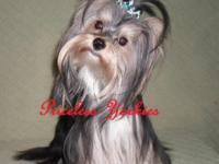 Little Obie is a beautiful Parti Yorkie, AKC, Male, DOB