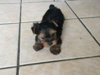 Adorable and Xtra Small Yorkie puppy, 1 woman AKC
