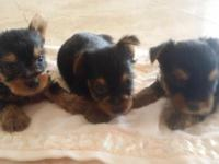 Yorkshire terrier puppies for sale hawaii