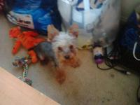 BELLA is a gorgeous 13 month old Yorkshire Terrier